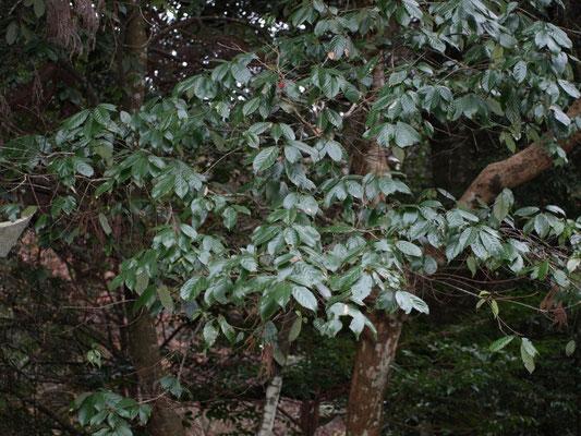 アラカシ(どんぐりの木)