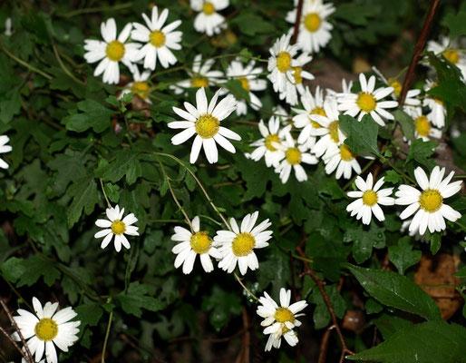 2、リュウノウギクの花