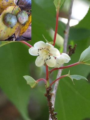 37、マタタビの花