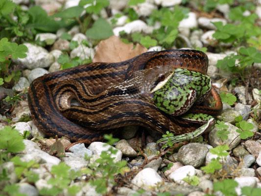 2、シマヘビ(ウシガエルを食べる)