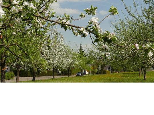 Baumblüte auf der Obstwiese