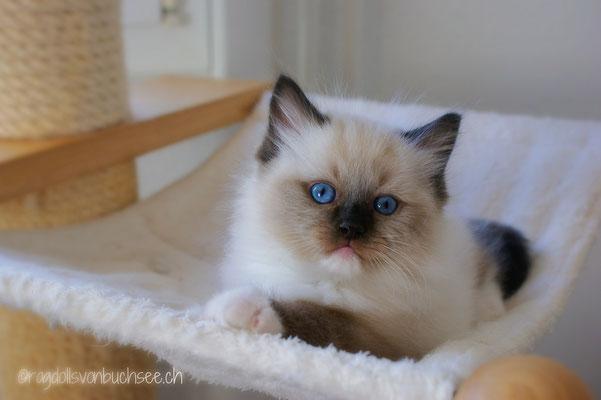 Dandy (blau)