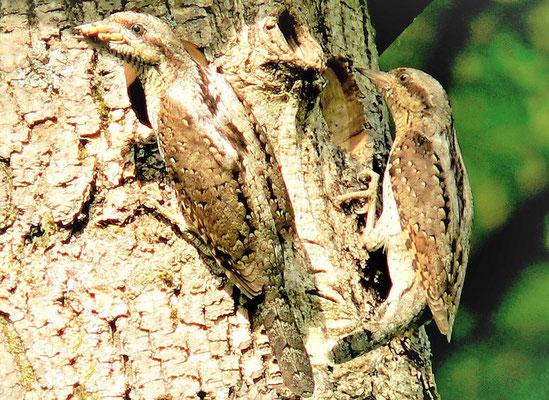 Der seltene Wendehals ist so gut getarnt, dass er nur schwer im Baum zu erkennen ist.