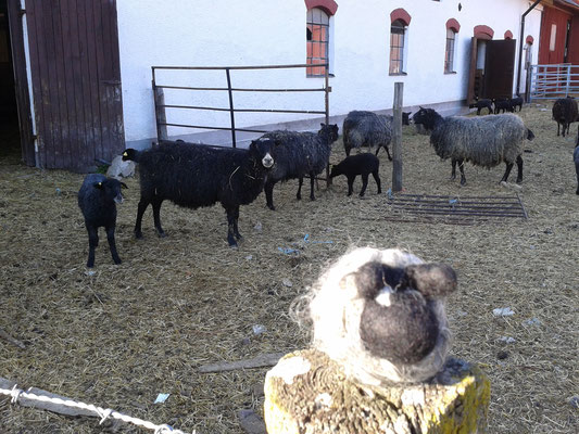 Sheeps on gotland