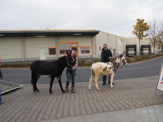 """Die Esel kommen! Eseltrekking mit """"Esolino"""", Dalheim"""