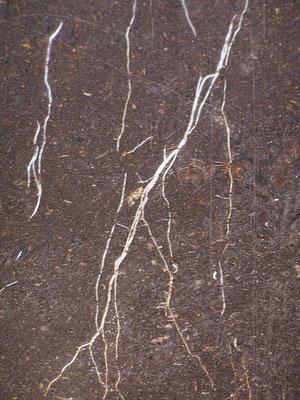vertikales Wurzelwachstum von Weizen