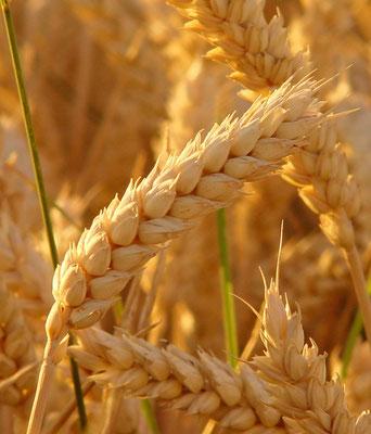 reife Weizenähre