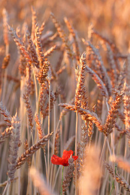 Weizensorte Graziaro vom Dottenfelderhof