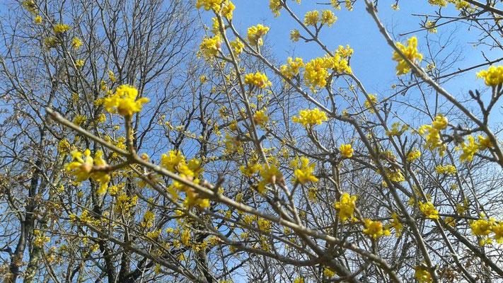 Fleurs de cornouiller mâle 26-02-2016©A-M Uyttenbroeck