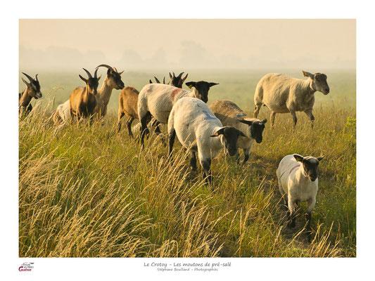 des troupeaux de moutons et de chèvres des prés salés
