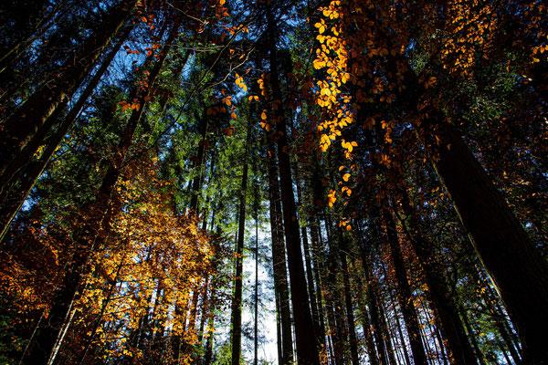 Herbstlicher Hochwald bei Bergen