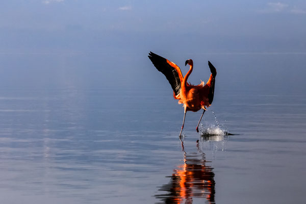 Flamingo am Chiemseeufer