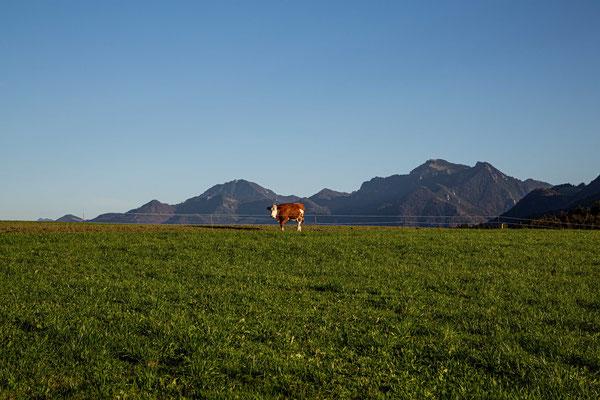 Einsame Kuh