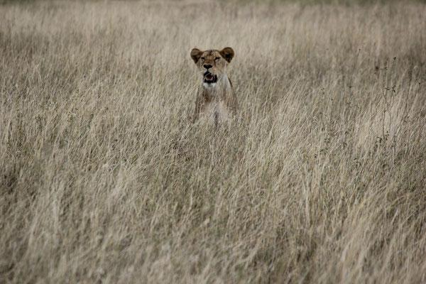 Löwin auf Ausschau