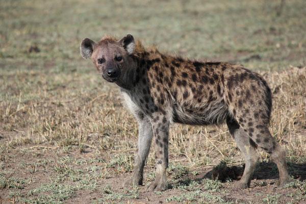Serengeti Raubtier