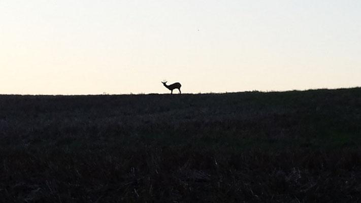 le chevreuil au détour du chemin