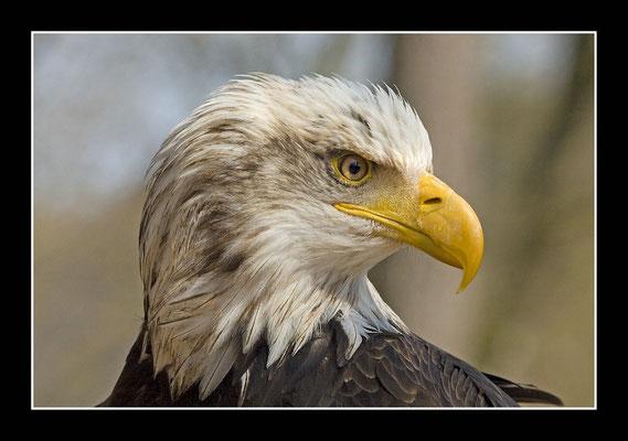 Weisskopfseeadler - Wappentier USA