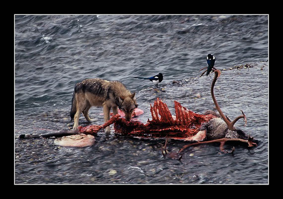 Wolfsrudel reisst Karibu - Denali