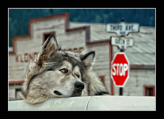 Alaskan Malamute in Dawson City