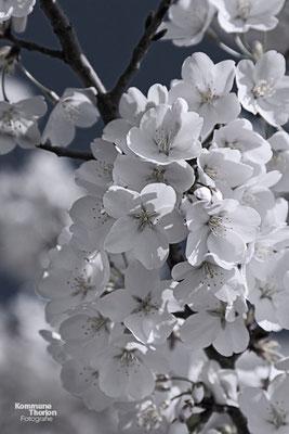 Cherry Blossoms rund um den Tidal Basin