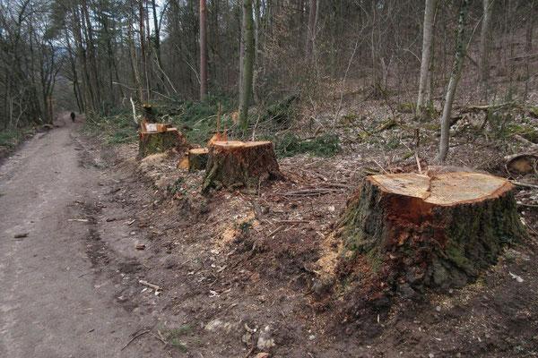 Es waren sehr schöne Bäume...    alle Aufnahmen am 10.03.2021, I. P.