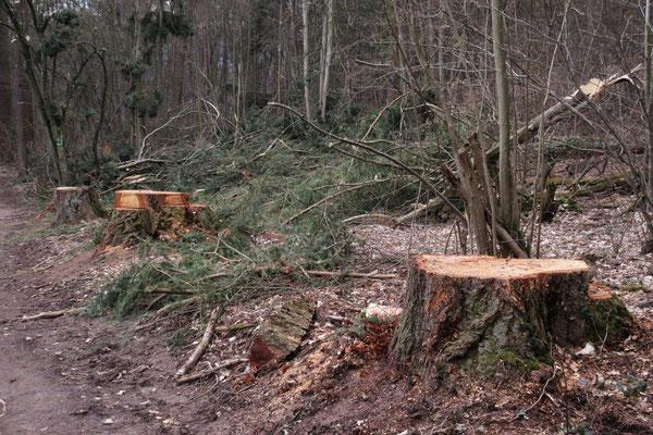 """...oder nur """"gutes Holz""""? Gepflanzt vor 100 Jahren?"""