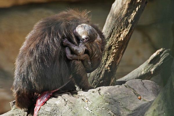 Brauner Kapuzineraffe unmittelbar nach der Geburt eines Jungen 2