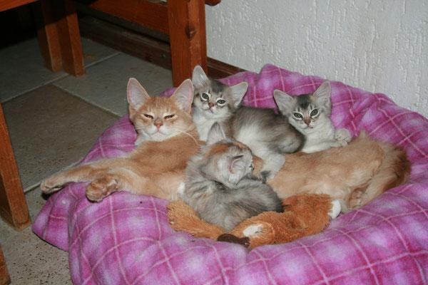 Helix Van Gebrook, Somali Crème et portée de chatons Black Silver Tortie et Bleu Silver appartenant à la chatterie Van Gebrook http://www.catterygebrook.nl/
