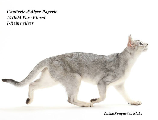 Abyssin Black Silver Ticked Tabby - Chatterie d'Alyse Pagerie