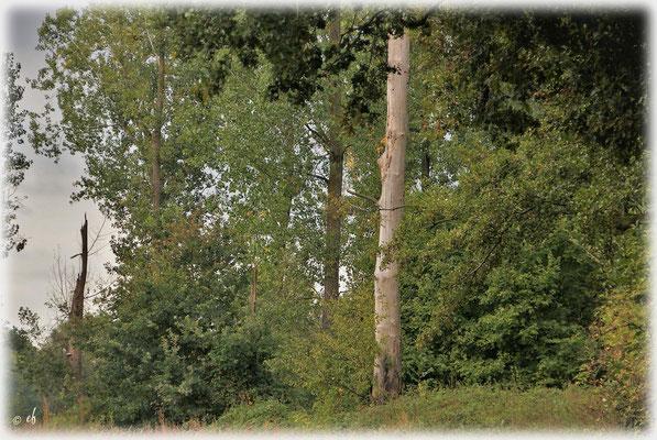 Die Totholzstämme