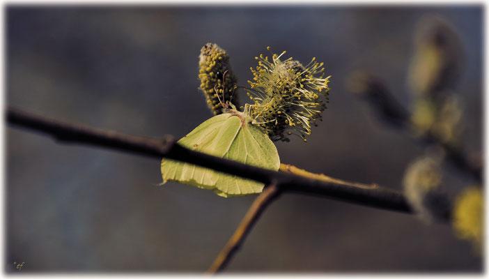 Ein Zitronenfalter tankt Energie an einer Weidenblüte