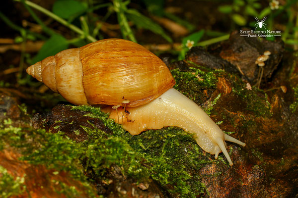 Achatina fulica (Vollalbino)