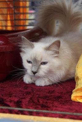 Willow ganz entspannt im Ausstellungskäfig.