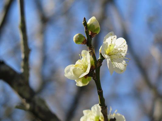 咢が緑の中国産の珍しい梅だそうです  緑咢梅