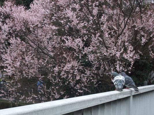 鳩もお花見