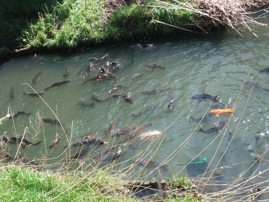 鯉が群れていた