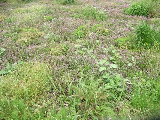小路脇の休耕地には季節の野草が花咲く