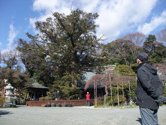 お弁当を摂った西光寺のかやの大木