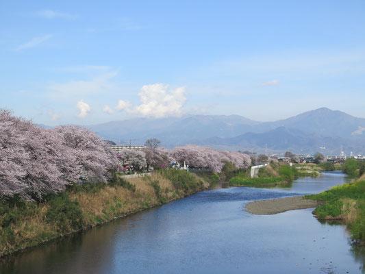 (おまけ)先週走った金目川も満開でした。