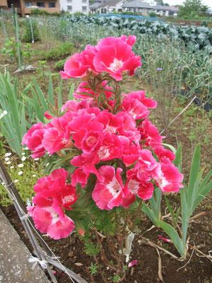 畑に咲く綺麗な花々