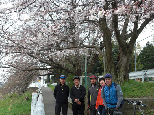 一足早く満開の桜を発見