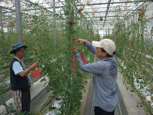 温室でトマトの収穫体験