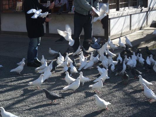 源氏だけに白鳩が群れる