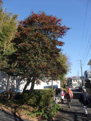 モチノ木の赤い実