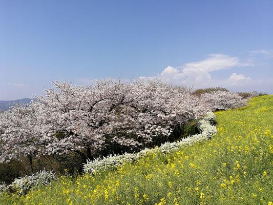 桜も満開🌸🌸🌸