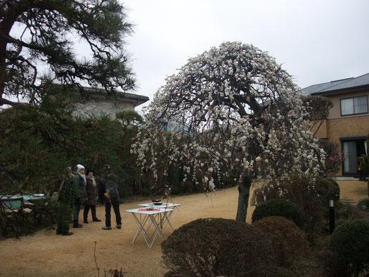 枝垂れ梅の咲くN氏邸にお邪魔する