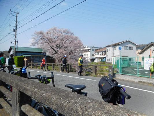 渡辺落花生店ウラの桜