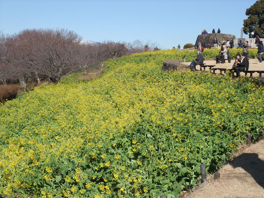 菜の花の黄色も綺麗