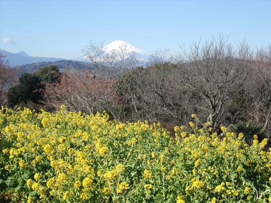 頂上から菜の花と富士が
