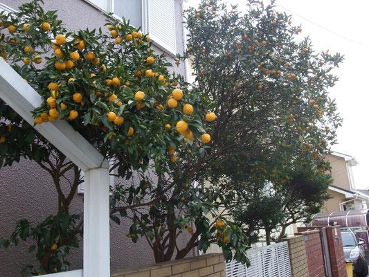 柚子と金柑